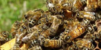 Cycle de vie des abeilles
